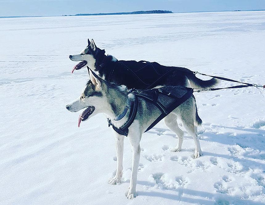 Dog sledding on the island of Hindersön in the Bay of Bothnia