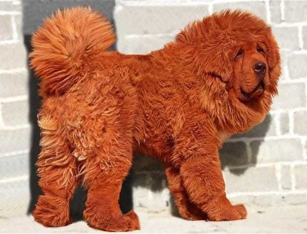worlds most expensive dog