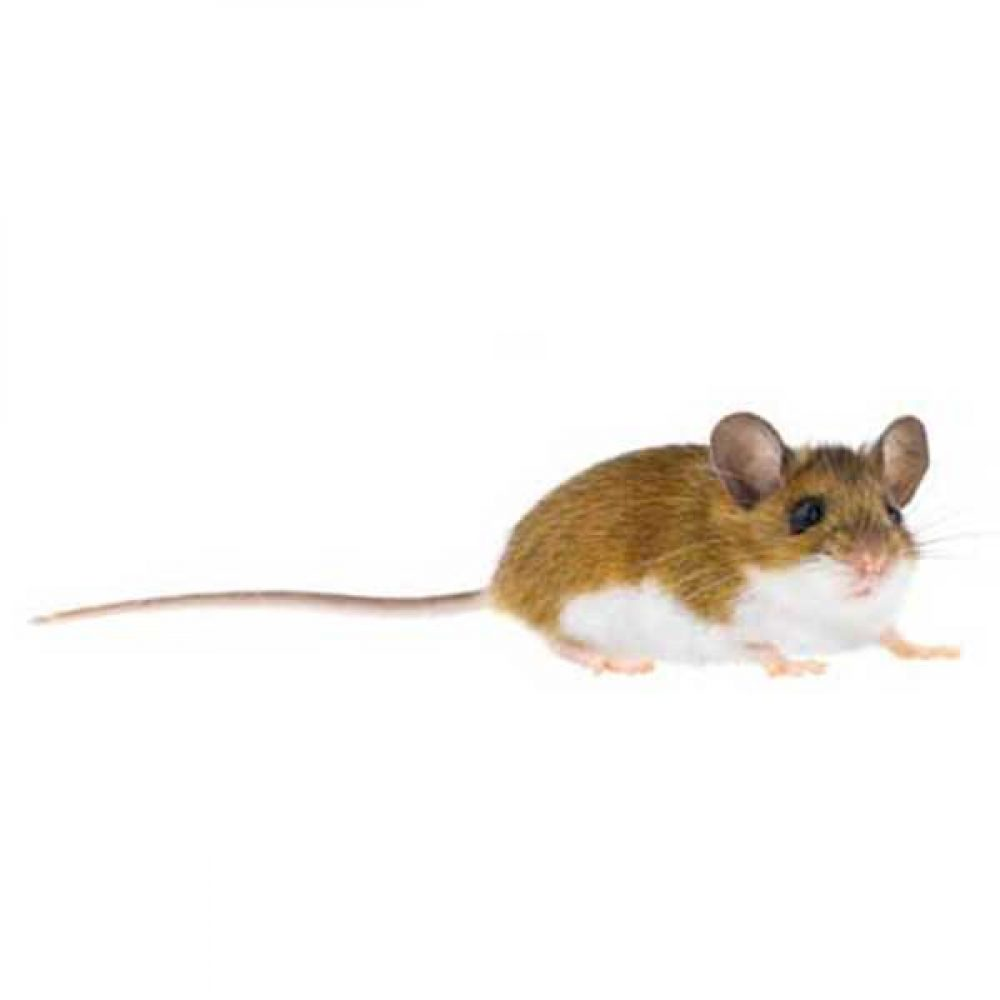 Deer Mouse Removal - Rodent Control - Henderson Las Vegas Nevada