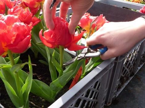 Ecimage de tulipe