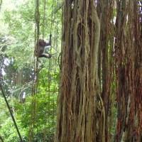 Małpi las i tańce balisjkie