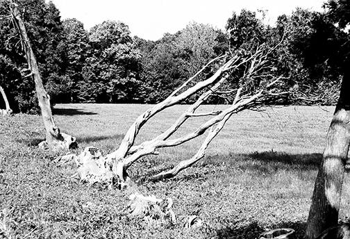 A dead tree at Alerton Park