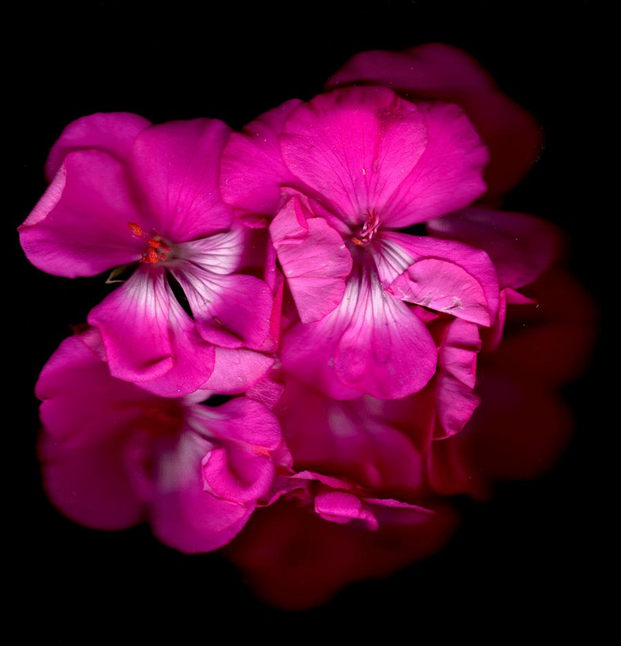 Flower series lynn amacher a scan of a pink flower mightylinksfo