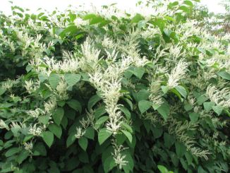 japanese-knotweed-in-flower