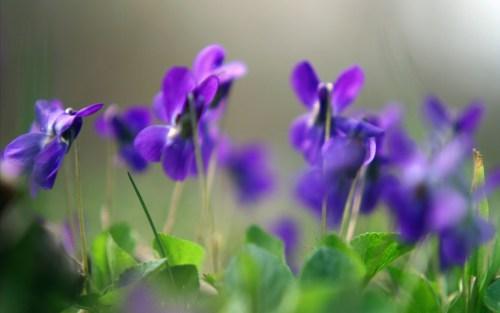 Violet-Flowers-Wallpapers-HD[1]