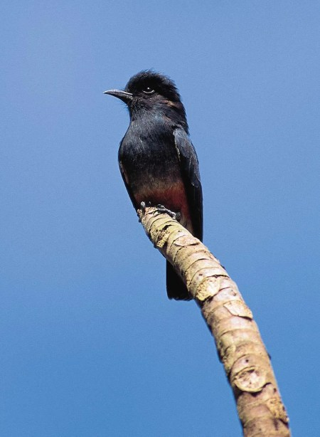 Swallow-winged Pufbird