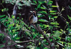 Stripe-backed Antbird