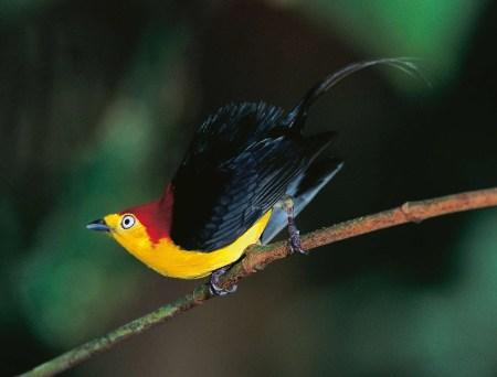 Wire-tailed Mannakin