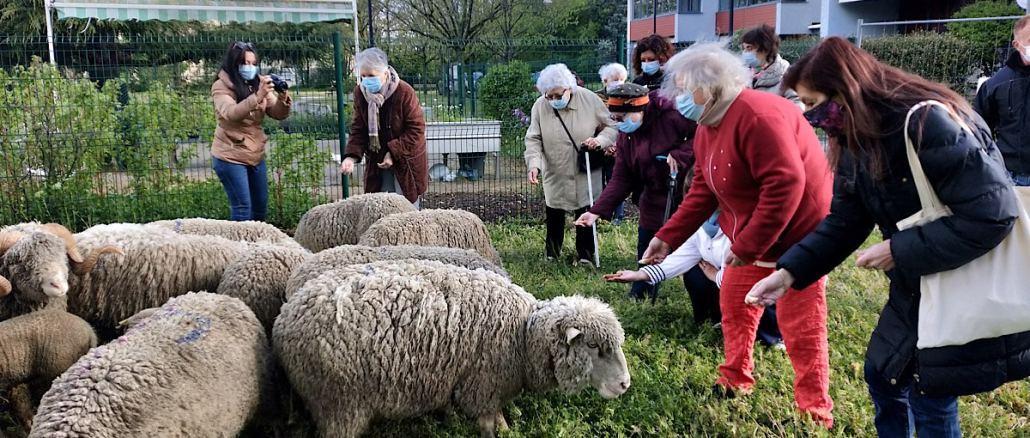 Les moutons de Naturama vont pâturer dans un EHPAD de Saint-Priest