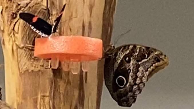 papillons en train de butiner