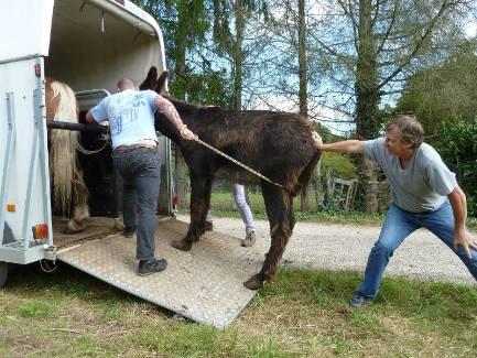 Plus inquiet que têtu, l'âne a eu quelques difficultés à rentrer dans le van qui l'a conduit vers son refuge. - RICHARD Olivier