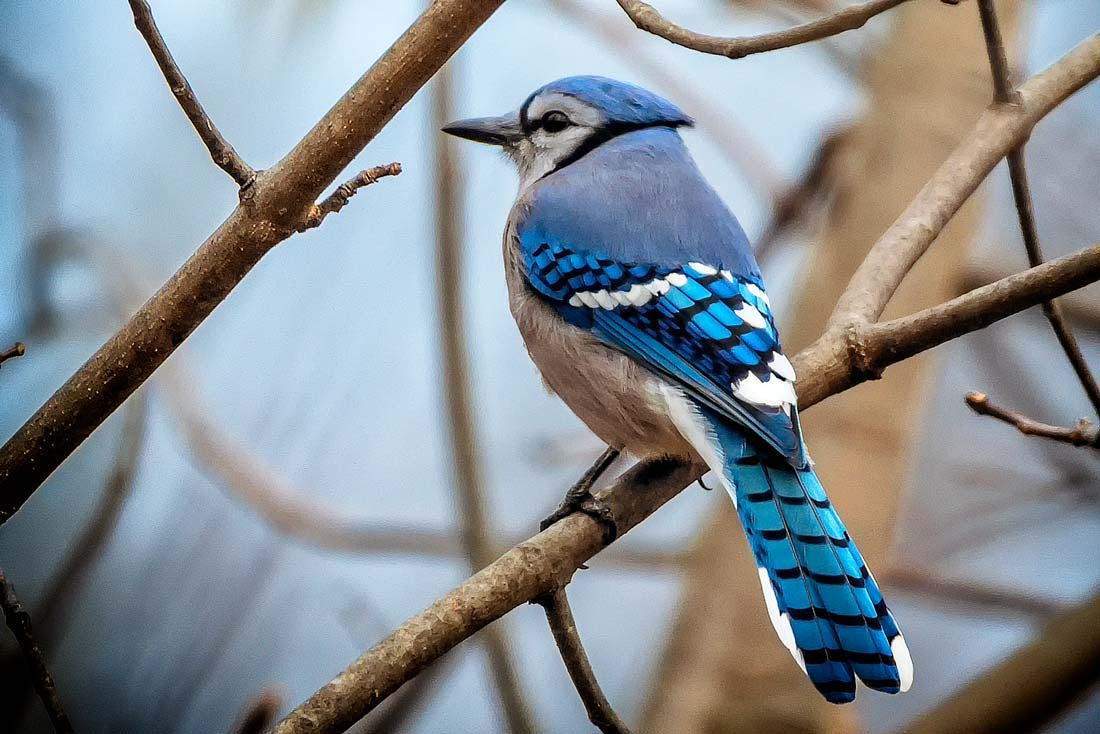 How Smart Are Blue Jays? 3 Things to Know About These Spirited ...