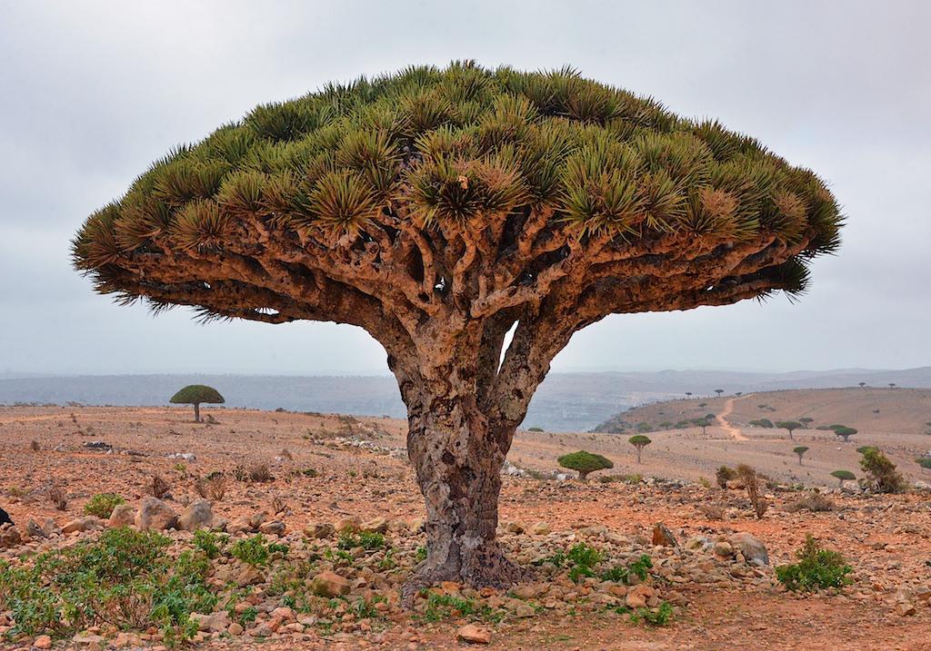 Árbol de la Sangre del Dragón en Socotra