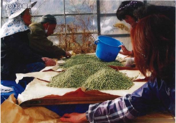 豆の選定作業