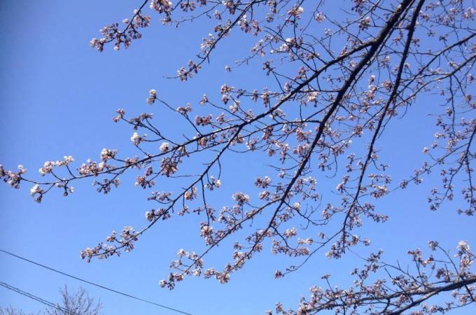 東山公園 桜開花レポート