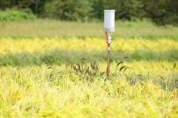 田んぼに設置されたセンサー。