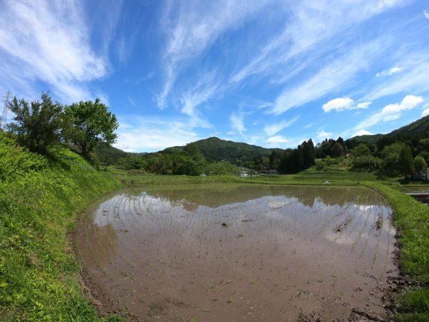 南三陸町のお米生長日記2021 (5月26日更新)
