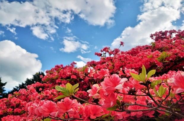 5/11更新:田束山(たつがねさん)つつじ開花状況(2021)