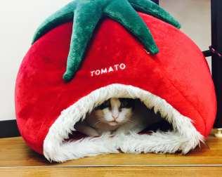 Cat cafe Tomato