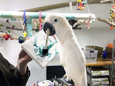 A Moluccan Cockatoo holding the handle of a painting sponge in his mouth, the sponge touching an abstract painting
