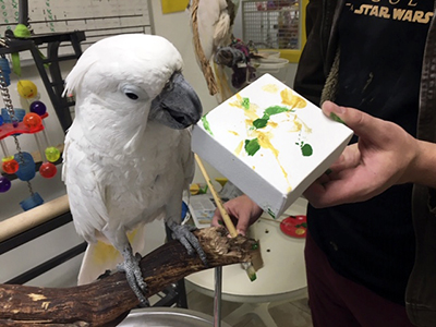 An Umbrella Cockatoo, perched on a wood branch on a stand, holding the corner of an abstract painting featuring green and gold paint
