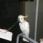Photo of Bobby, Citron Cockatoo, Creating Painting 2013-02