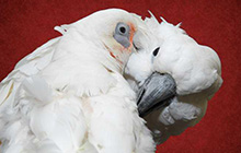 Photo of Oscar & Bogie, Umbrella and Bare-Eyed Cockatoos