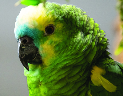 Chuck, Blue-Fronted Amazon