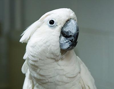 Gus, Umbrella Cockatoo
