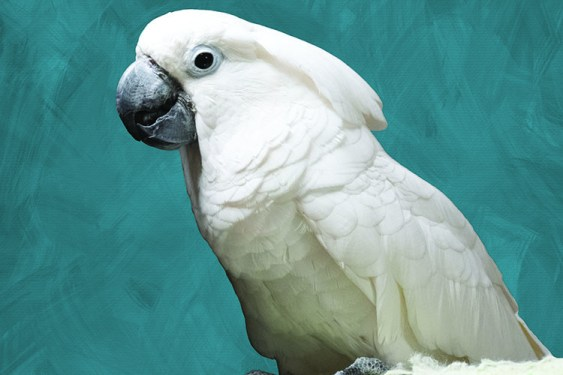 A close up of an Umbrella Cockatoo. Winston came to MAARS when another organization had too many challenges with him.