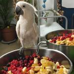 An Umbrella Cockatoo perched on the side of a stainless bowl filled with a large variety of cut up fruit. Winston came to MAARS from another rescue organization.
