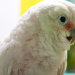 Close-up of a Goffin's Cockatoo