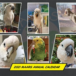 2021 MAARS Calendar Cover showing 6 close-up portrait photos of several parrots including an Umbrella Cockatoo, 2 Moluccan Cockatoos, a Bare-Eyed Cockatoo, a Goffin's Cockatoo, and a Double Yellow-Headed Amazon.