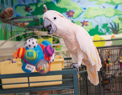 A Moluccan Cockatoo standing on the top of a green cage, watching as a toy he just threw flies away