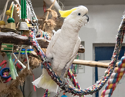 An Eleanora Cockatoo on a rope perch with several perches and toys in the background