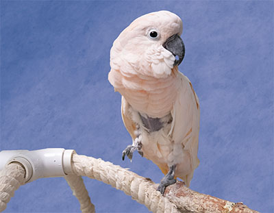 A Moluccan Cockatoo standing on a wood perch, looking directly at the camera