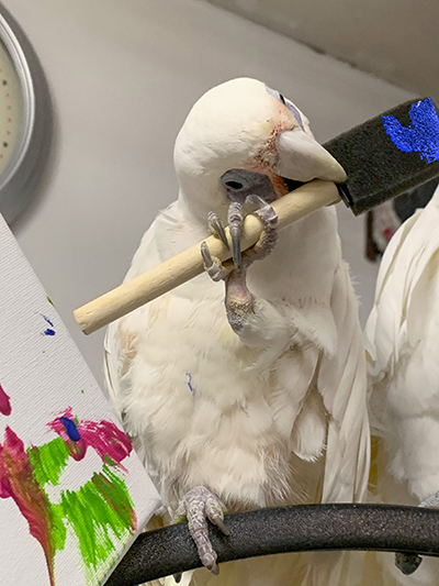 Bogie, Bare-Eyed Cockatoo, holding a painting sponge next to an abstract painting she created
