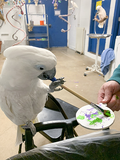 Sputnik, Umbrella Cockatoo, creating an abstract painting using his beak and foot to hold the brush
