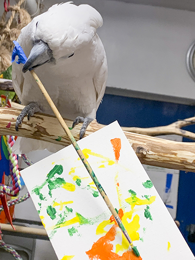 Winston, Umbrella Cockatoo, creating an abstract painting using his beak to hold the brush