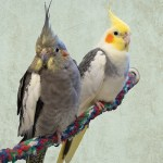 Silly, a normal grey female cockatiel and her friend Stubby, a pied cockatiel sit wing-to-wing on a rope perch while looking directly at the camera