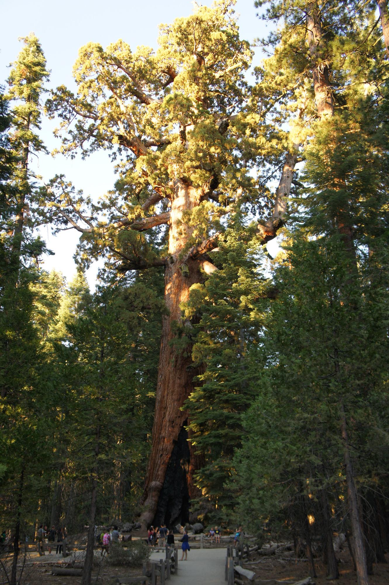 GRizzli sequoia mariposa grove californie