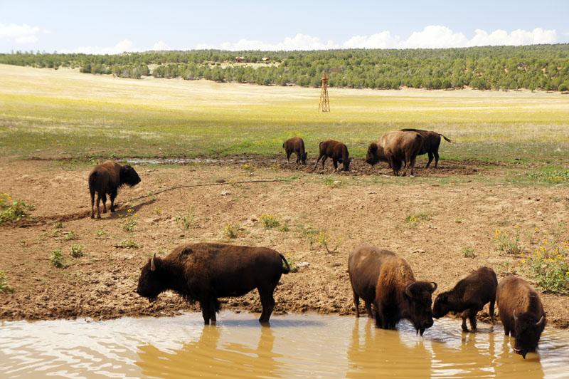 Bisons, Utah