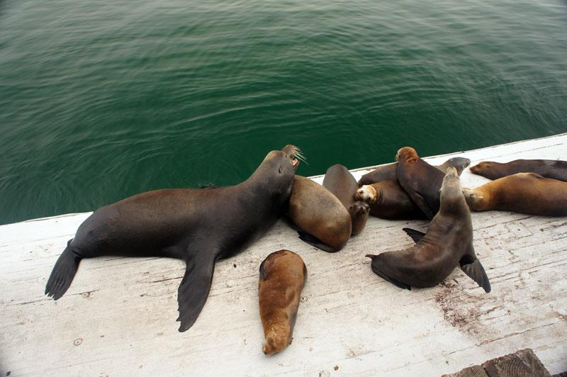 Santa Cruz, California, sea lions