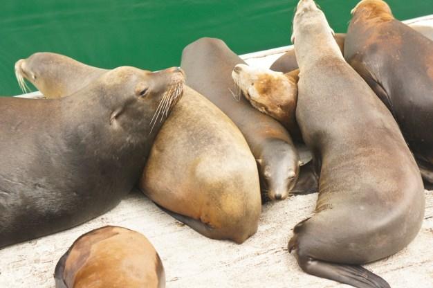 les lions de mer de Santa Cruz