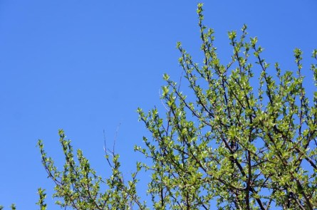 Le printemps à Boston - feuilles vertes