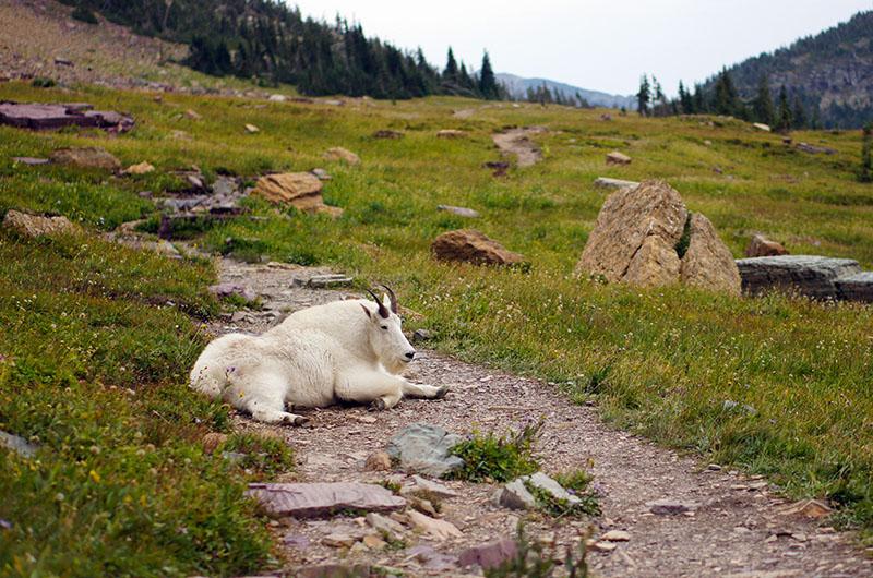 Mountain goat - la chèvre des montagnes Rocheuses