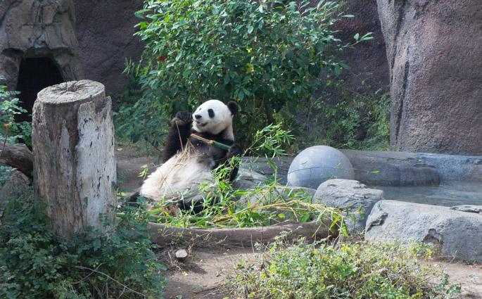 Le panda du zoo de San Diego, California