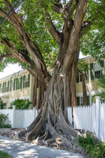 Arbre - Little White House of Key West - Floride