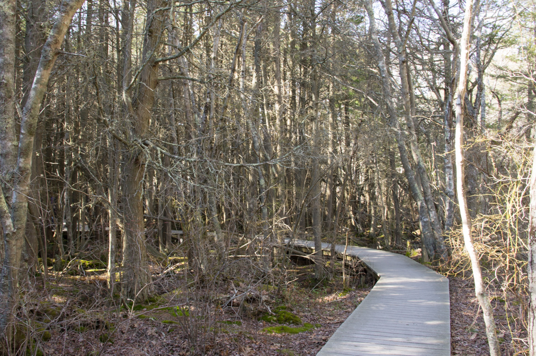Atlantic White Cedar Swamp Trail - visiter le cape cod 1