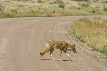 Black Canyon of the Gunnison - National Park - Colorado - road trip - coyote sur la route